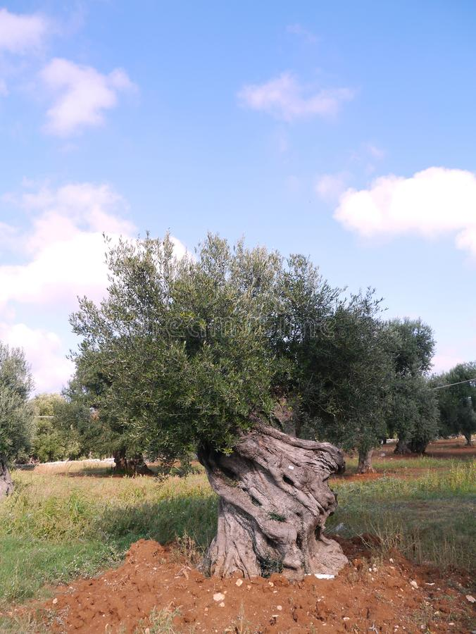 Download Olive tree in autumn stock image. Image of bunches, fruit - 27399867