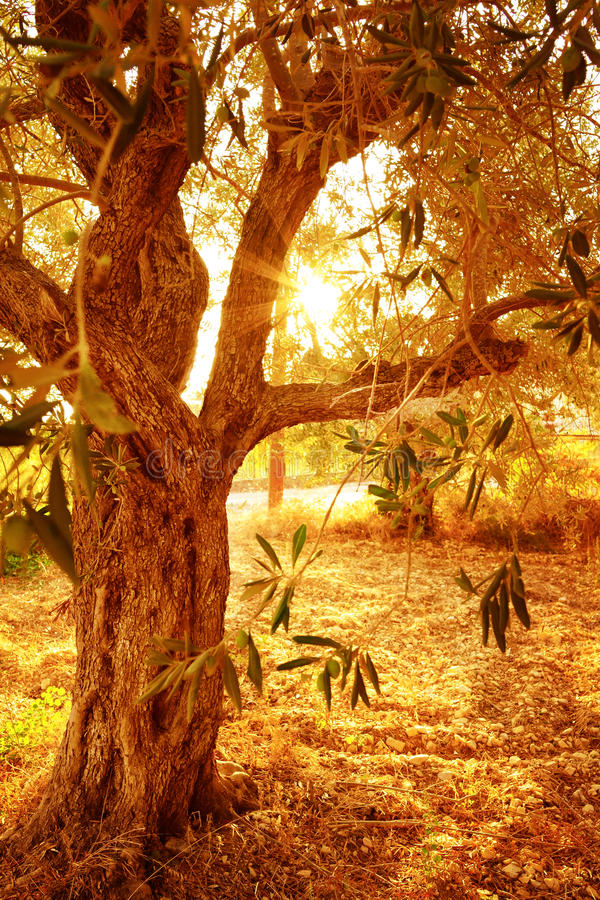 Olive tree in autumnal garden royalty free stock photography