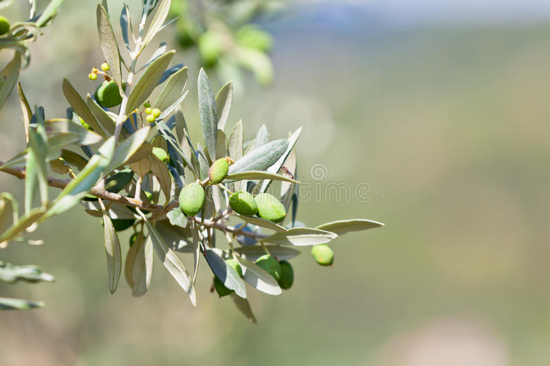 Olive tree banch royalty free stock photo