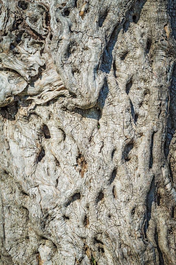Olive Tree Bark fotografia stock