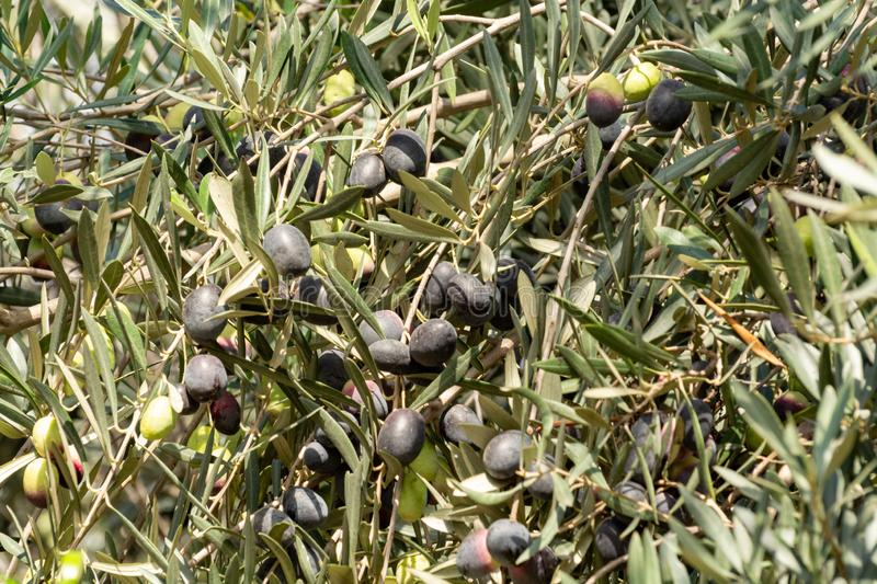 Olive tree with big ripe black olives ready for harvest royalty free stock image