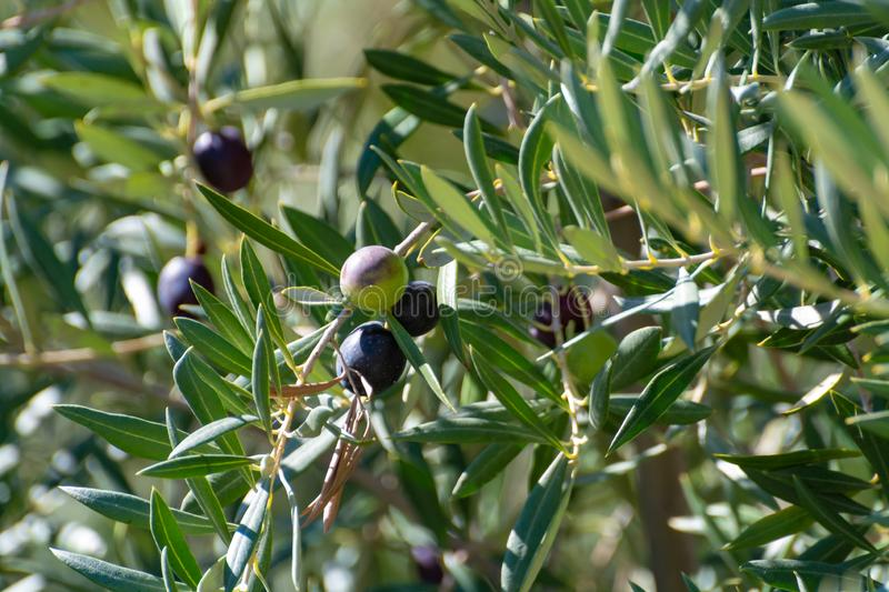 Olive tree with big ripe black olives ready for harvest stock image