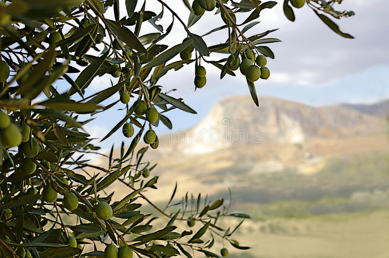 Olive tree branch. With distant view on misty mountain stock images