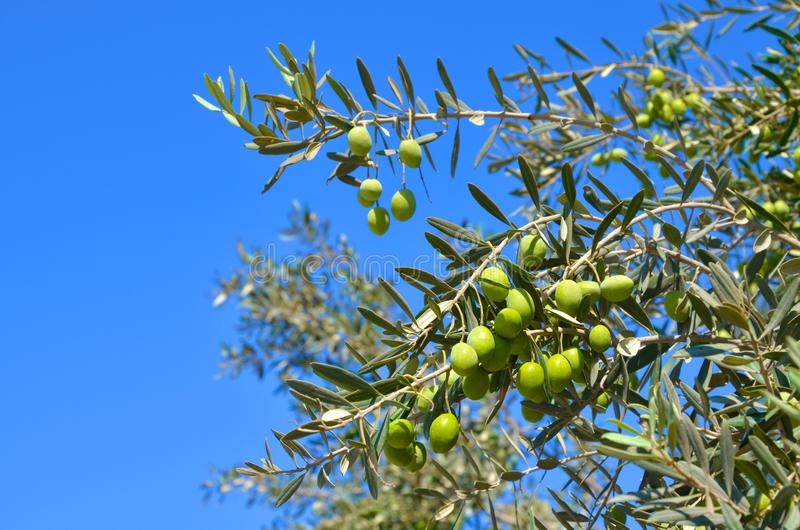 Olive tree, branch with green leaves and olives on a background of blue sky royalty free stock photo