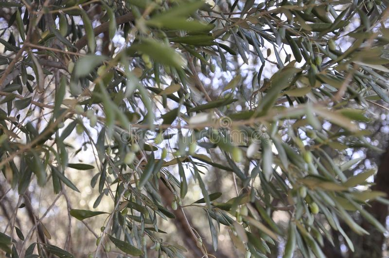 Olive tree branches background with ripe olives stock photos