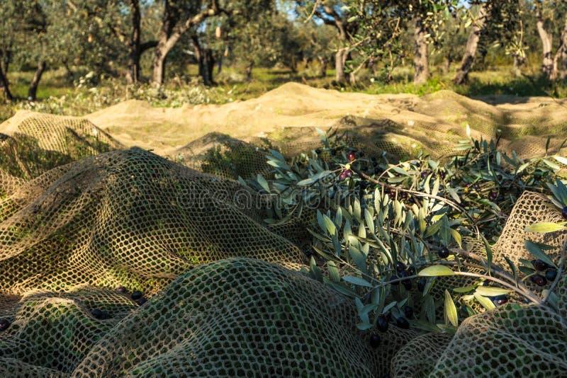 Olive Tree Branches en la red para la colección verde oliva durante cosecha foto de archivo