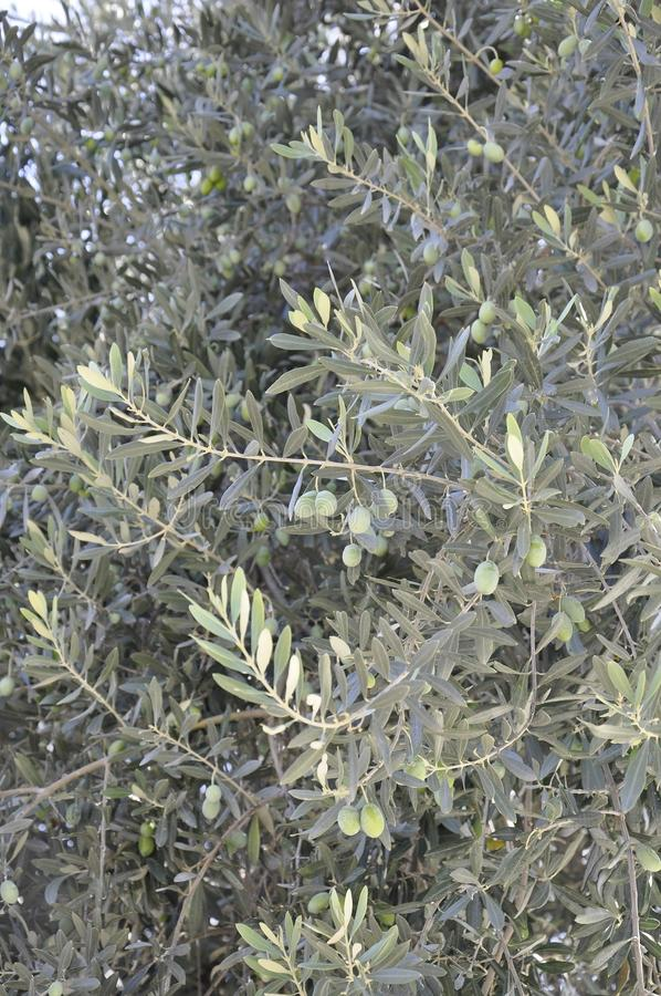 Olive tree branches with green olives fruits background royalty free stock image