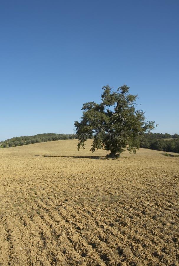 olive tree för fält royaltyfri fotografi