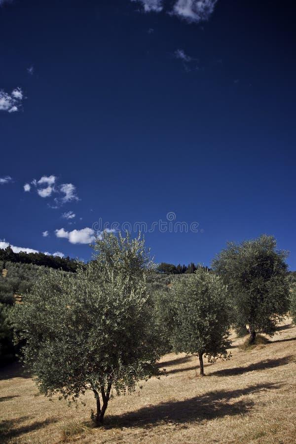 olive tree för fält arkivfoto