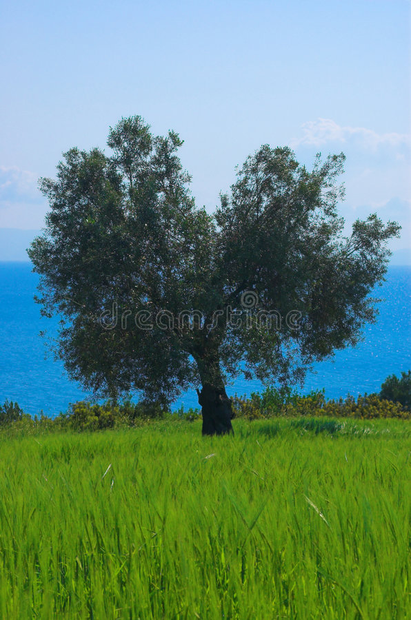 Olive tree in the field stock image