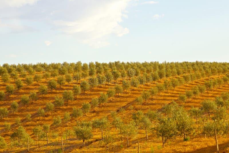 Olive tree field stock photo
