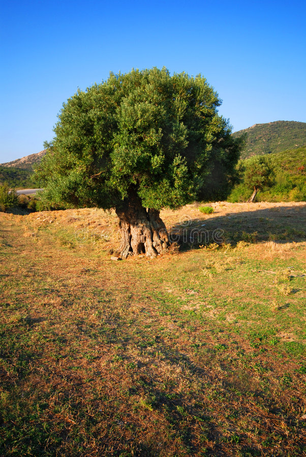 Olive tree in field royalty free stock image