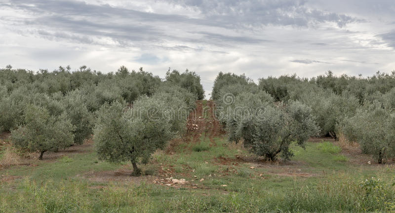 Olive tree field in Istria, Croatia royalty free stock images
