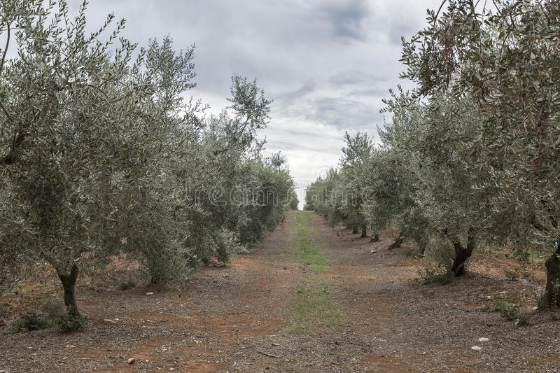 Olive tree field in Istria, Croatia stock images