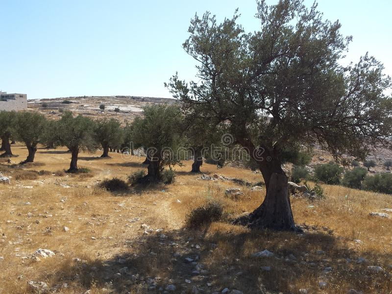 Olive tree field royalty free stock photos