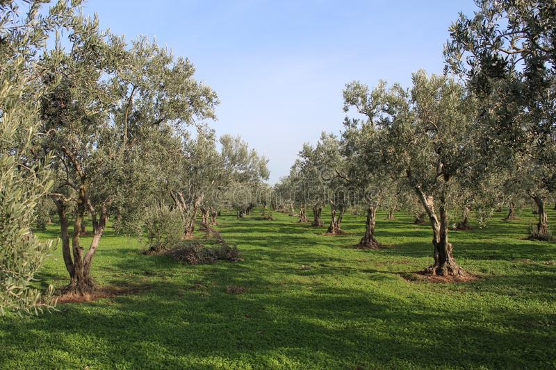 Olive tree and garden. November harvest in olive gardens at canakkale deer royalty free stock images