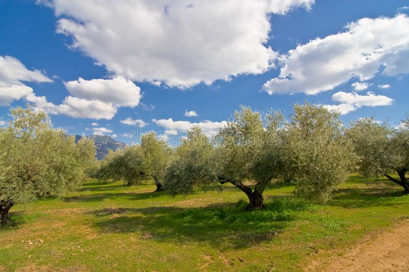 Olive tree in green meadow royalty free stock images