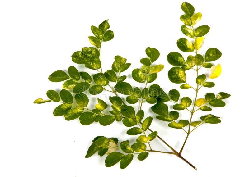 Olive Tree Green och guling mönstrade sidor på vit arkivfoton