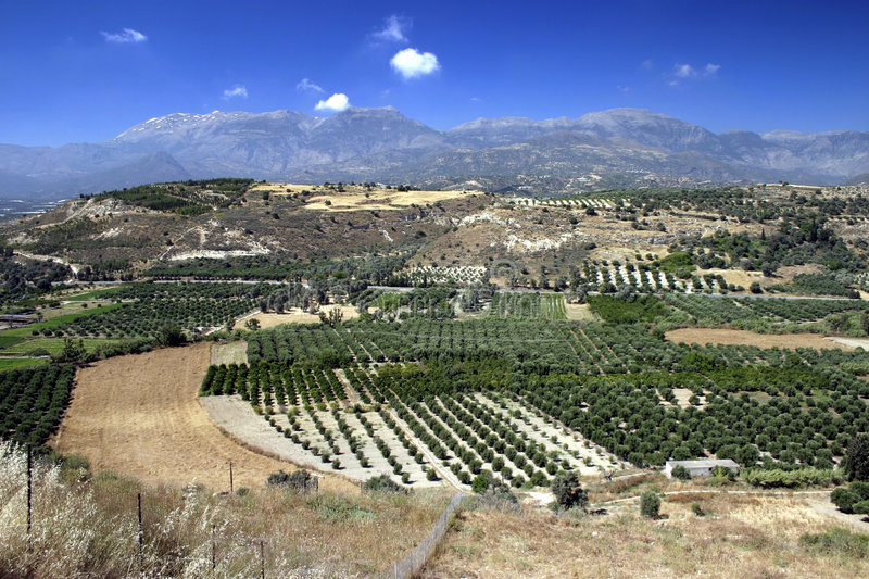 Olive Tree Groves in Crete royalty free stock image