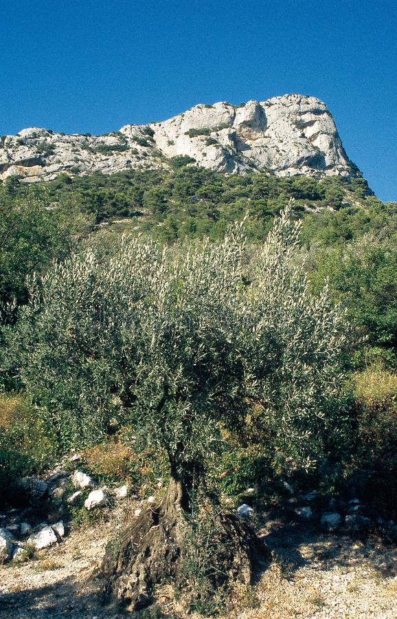 A old olive tree in the Drôme Provençale, France. The olive tree has moved inland to the valleys of the Eygues and Ouvèze, in the Baronnies, at the stock images