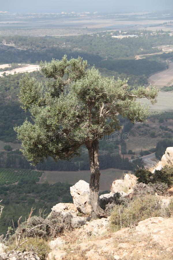Olive Tree Over Valley Landscape royalty free stock photography