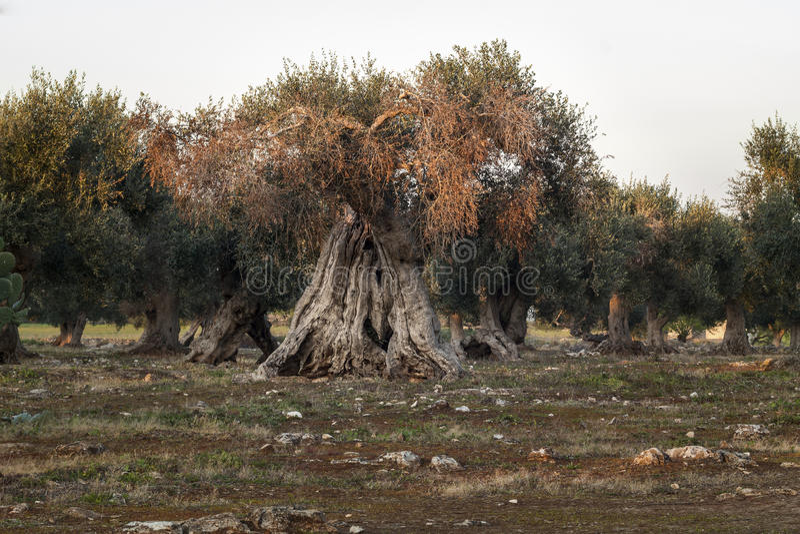 Olive Tree Illuminated monumental pelo por do sol foto de stock