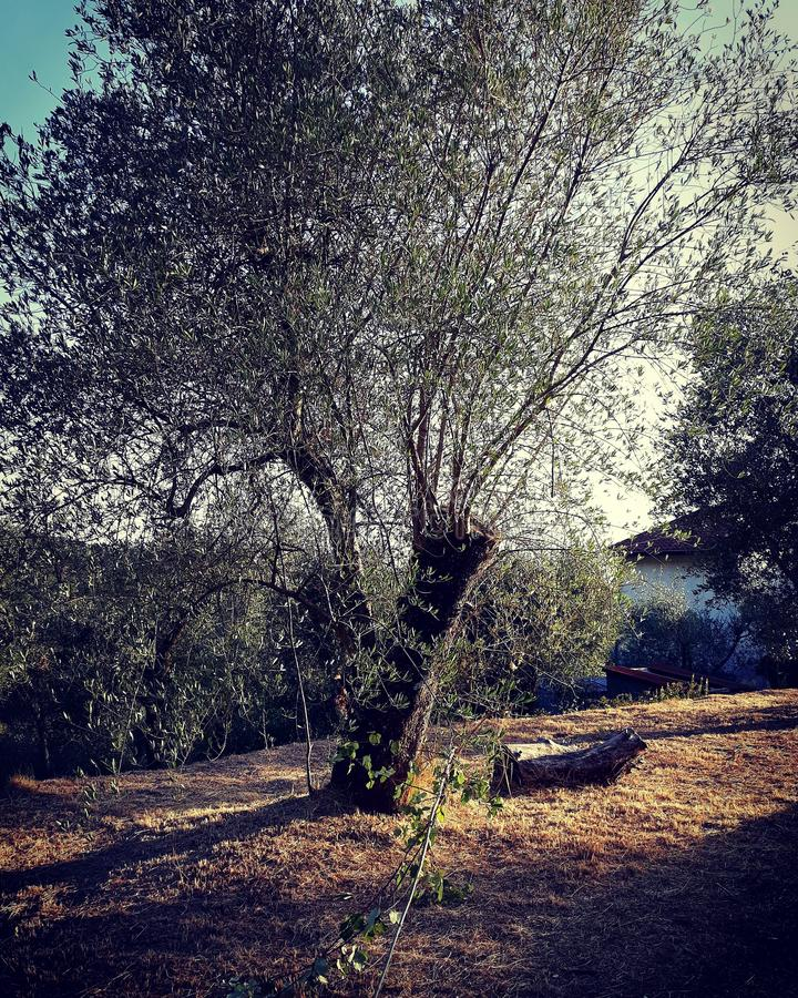 The olive tree. In november there is the harverst of the olives royalty free stock photos