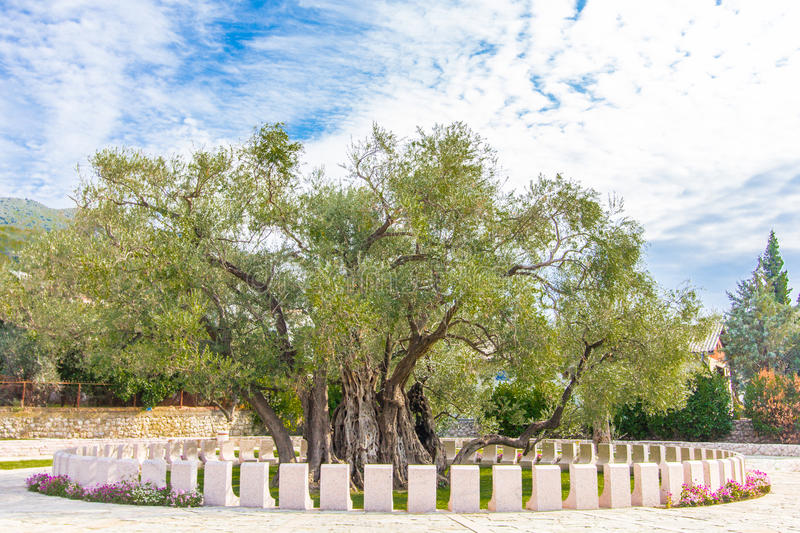 Olive tree. Oldest olive tree, Bar town, Montenegro. One of bigest and oldest olive trees in the world, about 10 meters diameter royalty free stock photos