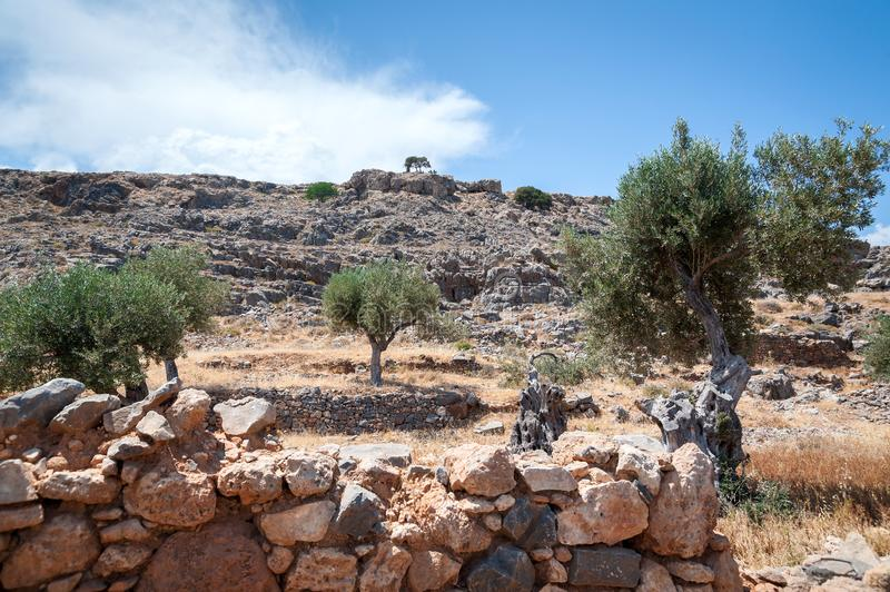 Olive tree. Olive tree wild grove on Island of Rhodes, Greece. Europe. royalty free stock images