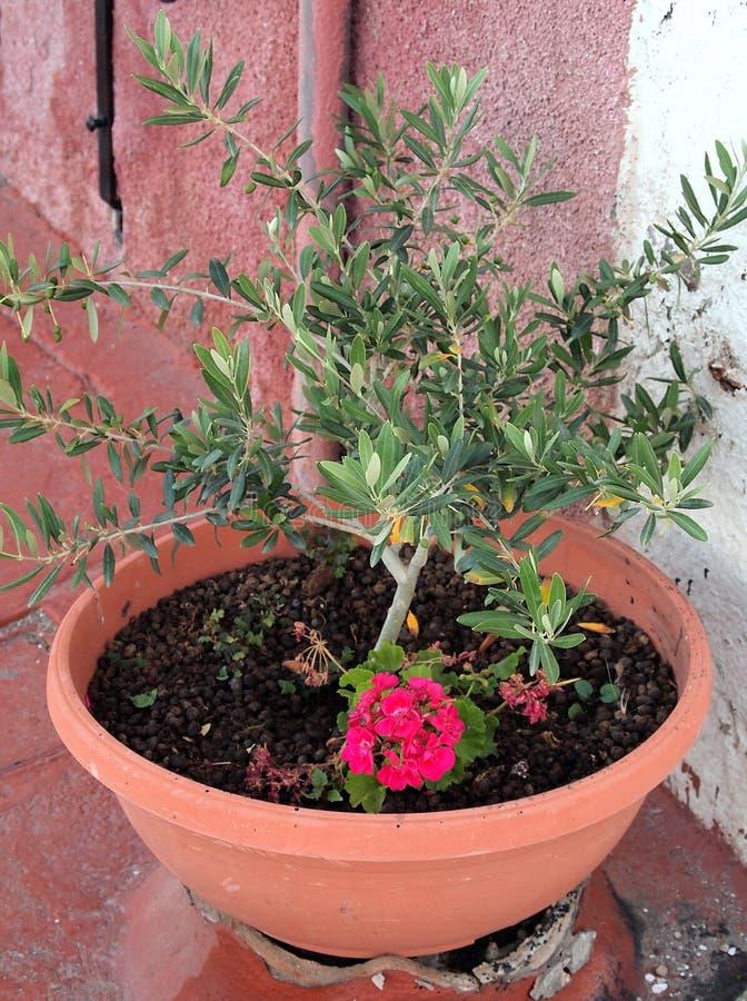 Olive Tree pequena no potenciômetro imagens de stock royalty free