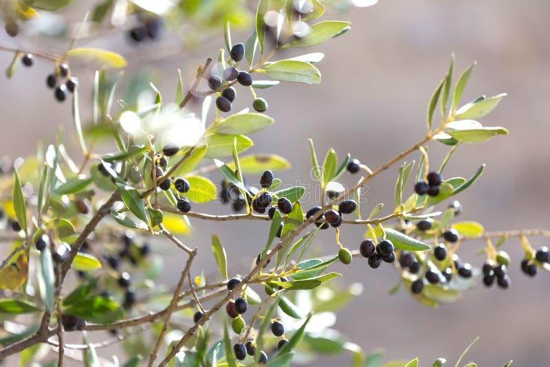 Olive tree. An plain fresh olive tree stock photos