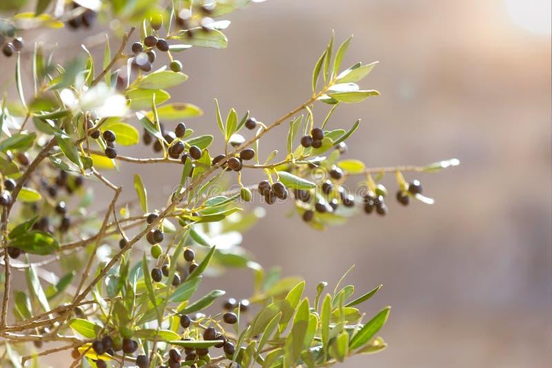 Olive tree. An plain fresh olive tree stock photo