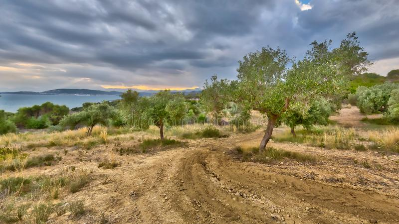 Olive Tree Plantation stockfoto