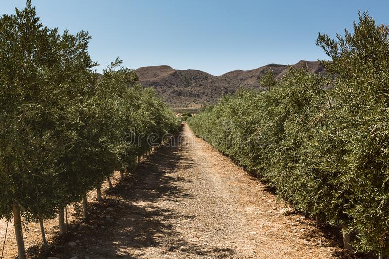 Olive Tree Plantation, Andalusia, Spain by Summer stock images