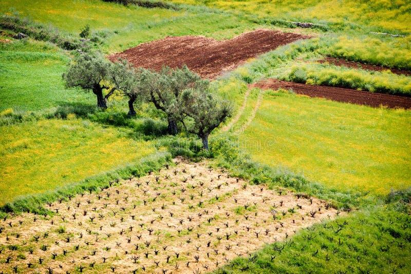 Olive Tree Plantation De bothanical naam van Oleaeuropaea Europees O stock afbeeldingen