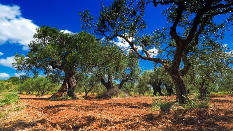 Olive Tree Plantation De bothanical naam van Oleaeuropaea Europees O stock fotografie