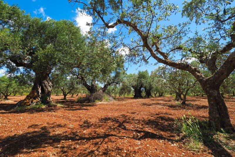 Olive Tree Plantation De bothanical naam van Oleaeuropaea Europees O royalty-vrije stock foto's
