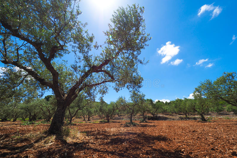 Olive Tree Plantation Europese Olive Oil-boom in isla van Zakynthos stock afbeelding
