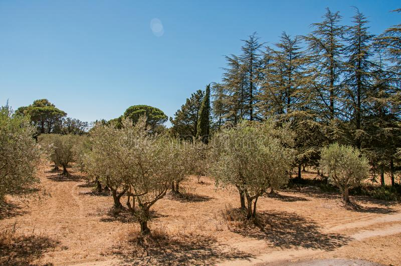Olive tree plantation near the village of Lourmarin. View of olive tree plantation under the sunny and warm sky of Provence near the village of Lourmarin. In the stock photos