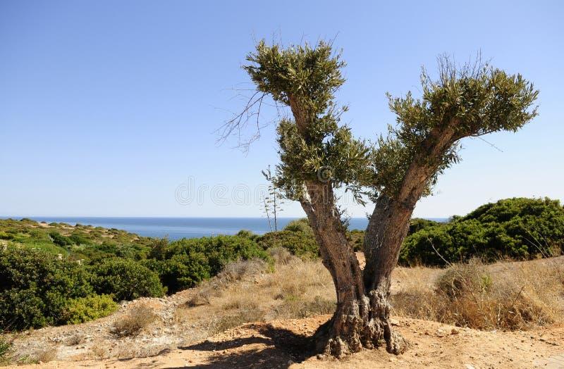 Olive Tree potata - paesaggio dell'acqua blu fotografie stock