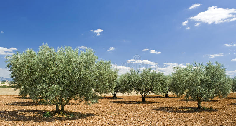 Olive tree from Provence. France. Olive tree, grove high noon in Provence. France royalty free stock photo