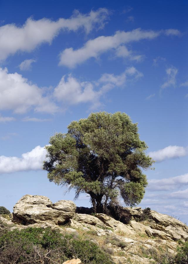 Olive tree in greek islands royalty free stock photos