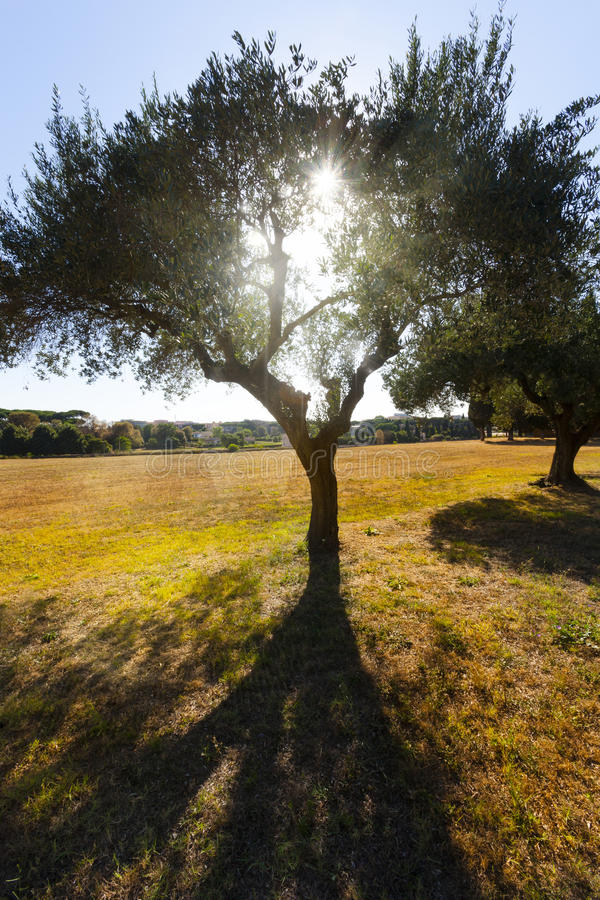 Olive tree with sun behind on a yellow field stock images