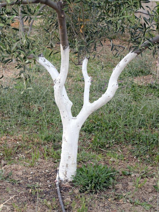 Olive Tree Trunk Whitewashed foto de stock