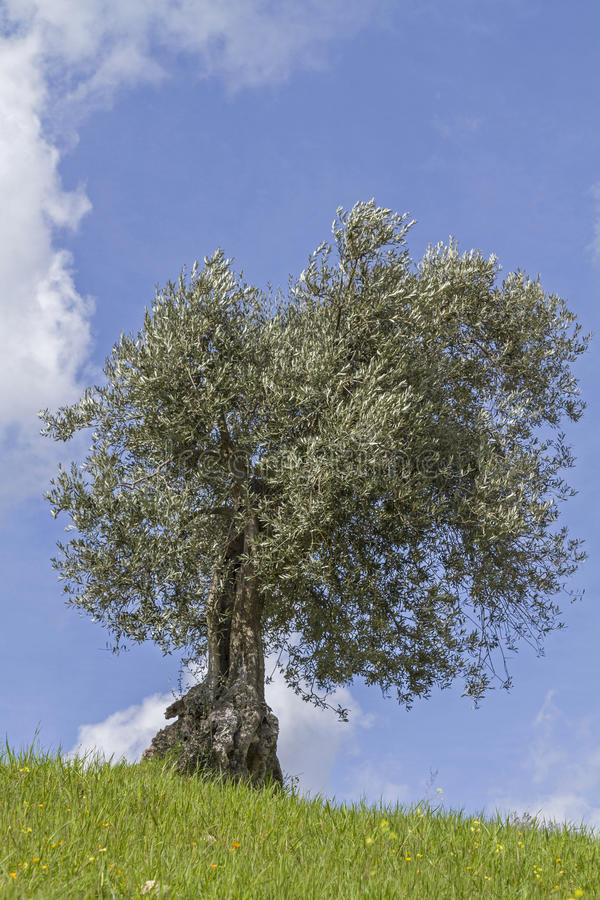 Download Olive tree stock image. Image of tree, weird, culture - 30792389