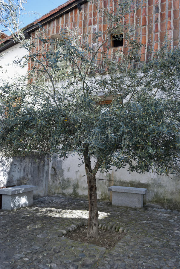 Download Olive Tree Urban stock image. Image of tree, paving, olive - 25589979