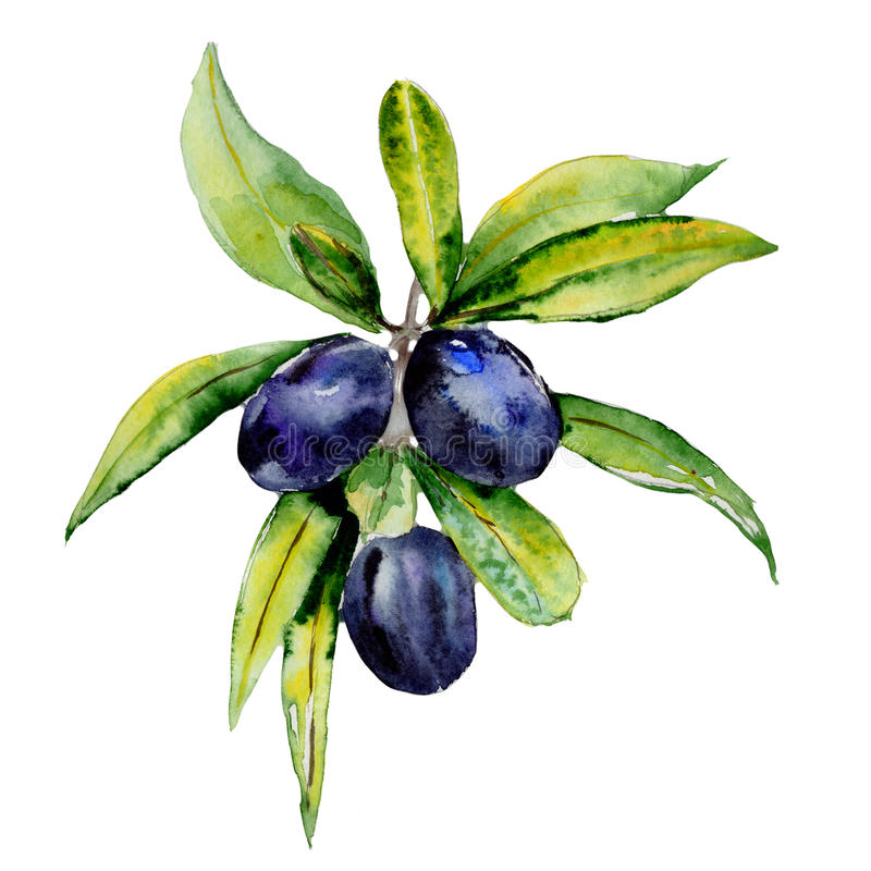 Olive tree in a watercolor style isolated. stock illustration
