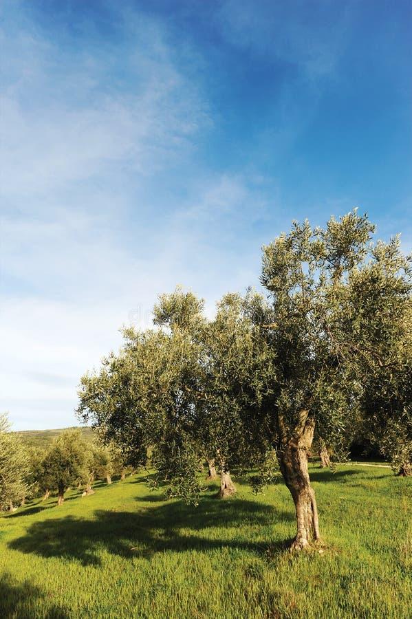 olive trees royaltyfria bilder