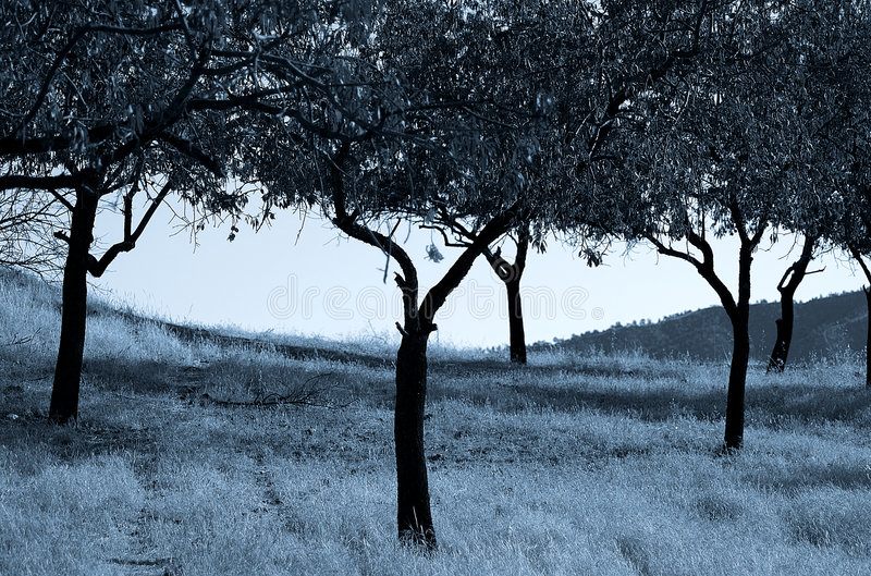 Download Olive Trees stock photo. Image of blue, trees, artistic - 172186