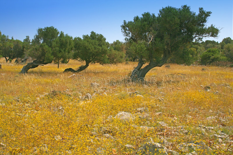 Download Olive trees stock image. Image of landscape, vegetation - 196327
